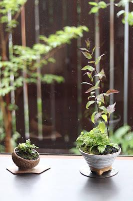 ヒビ模様の斜めになった鉢と白い足付の鉢に入った山野草盆栽