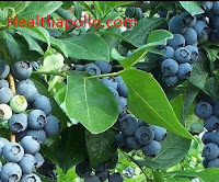 Blueberries for UTI
