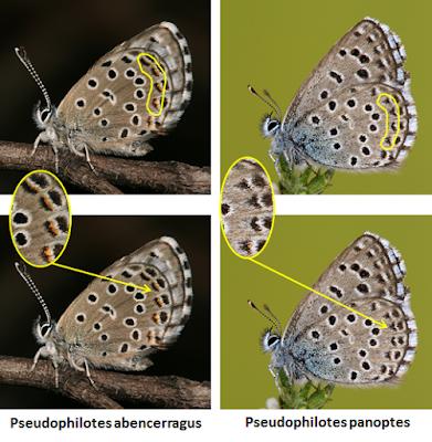Pseudophilotes abencerragus y panoptes