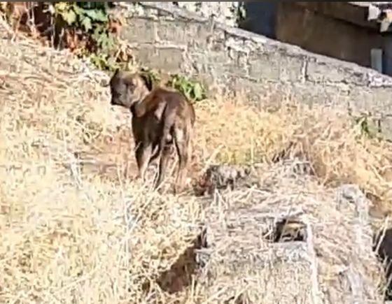 Πελασγία: Εγκατάλειψη σκύλου ράτσας Boxer
