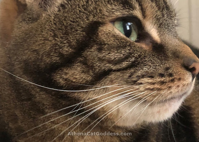 close up tabby cat profile