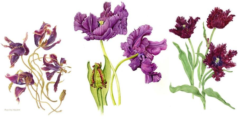 ilustraciones tulipanes flores color malva
