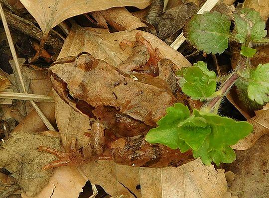 Żaba trawna (Rana temporaria).