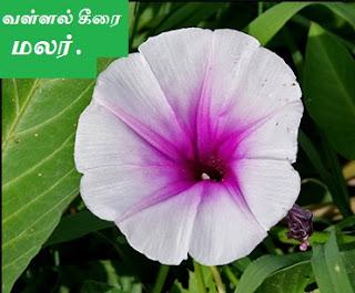 water spinach flower