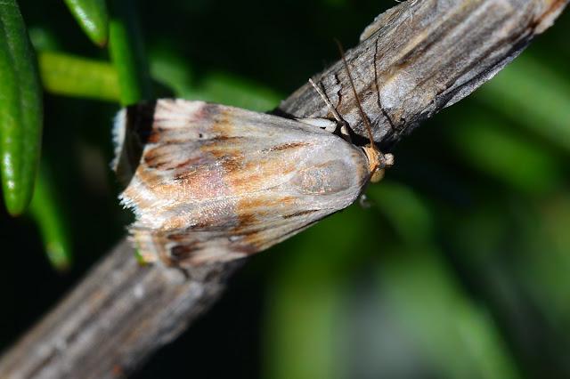 Eublemma ostrina