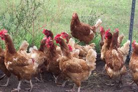 فيروس خطير قاتل مصدره الدجاج قد يقضي على نصف العالم وكورونا أمامه مجرد «قزم»