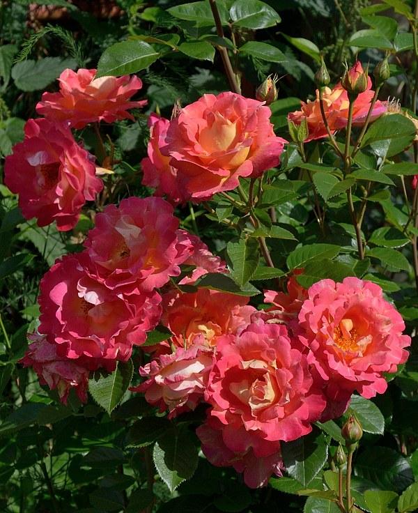 Meilland Decor Arlequin сорт розы фото