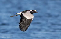 Blacksmith plover - Birds In Flight Photography: Canon EOS 7D Mark II Gallery Copyright Vernon Chalmers