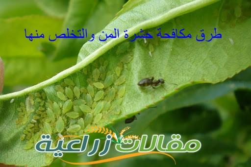 طرق مكافحة حشرة المن والتخلص منها - مقالات زراعية