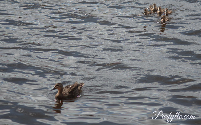 Lady Black Duck and her brood