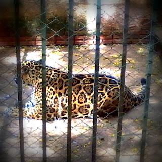 Onça-pintada, no Zoológico de Cachoeira do Sul