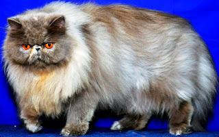 16 Penyebab Bulu Kucing Rontok Beserta Cara Mengatasinya