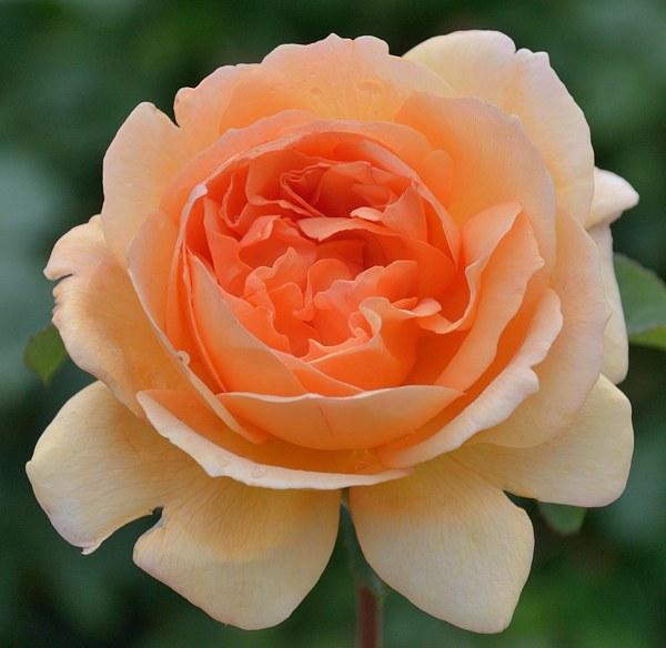 Dame Judi Dench сорт розы фото