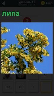 Весеннее цветение липы с яркими желтыми цветами на ветках под голубым небом без облаков