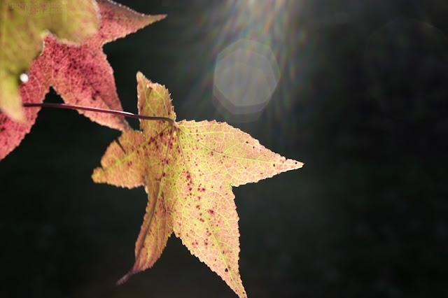 Foglie di vite americana in autunno fotografate controluce