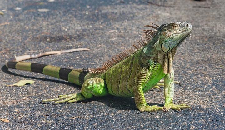 Mengapa Ekor Iguana Sangat Panjang?
