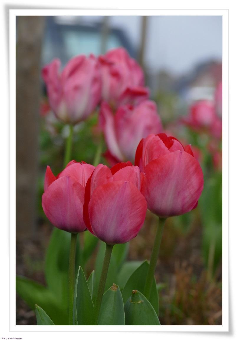 hundeblog einfach socke von wegen tulpen aus amsterdam. Black Bedroom Furniture Sets. Home Design Ideas
