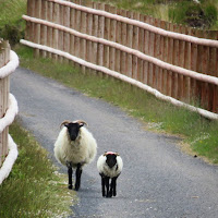 Ireland Photos: Mama sheep and lamb on the Great Western Greenway in County Mayo