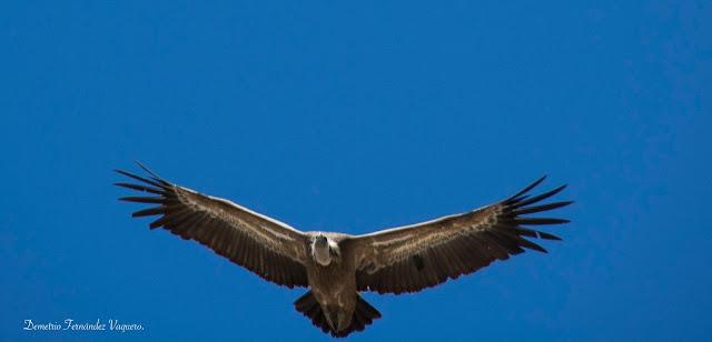 Buitre volando en Parque Nacional Monfragüe
