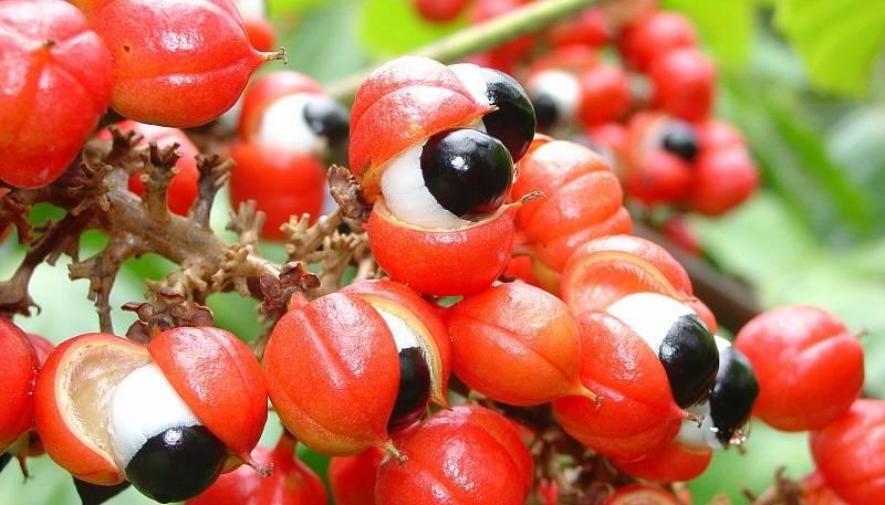 11 Benefícios do Guaraná à Saúde