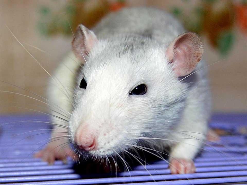 Fancy Rat Intelligent Loyal And Easily Trainable Pet Rat