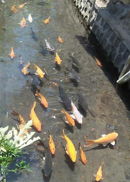 Parit jernih berisi ikan koi di Kluncing Banyuwangi.