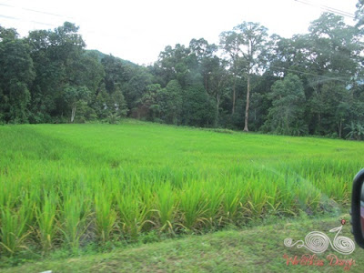Swamp or wet paddy, planted on low lying area, unlike hill paddy