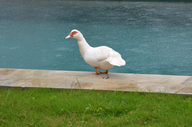 Mondopapera papera in piscina for Laghetto per papere