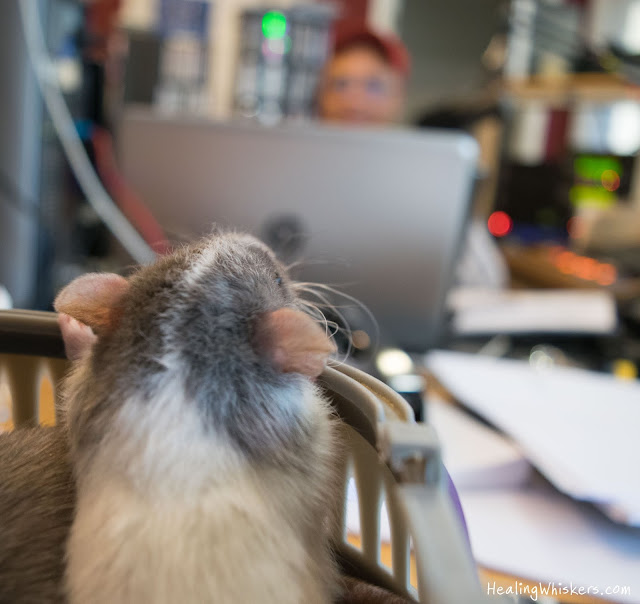 Vincent the rat at WGMI 1440 AM