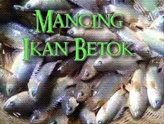 cara mendapatkan ikan betok banyak dengan pancing