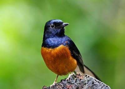 Cara Dan Obat Untuk Mengobati Benjolan Di Kepala Burung Yang Sudah Terbukti