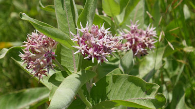 Medicine Hat, Alberta, milkweed, monarch, butterfly, flower