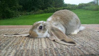 english lop rabbit ears