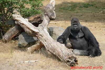 القردة العليا