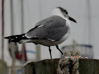 Laughing Gull holding down the boat line