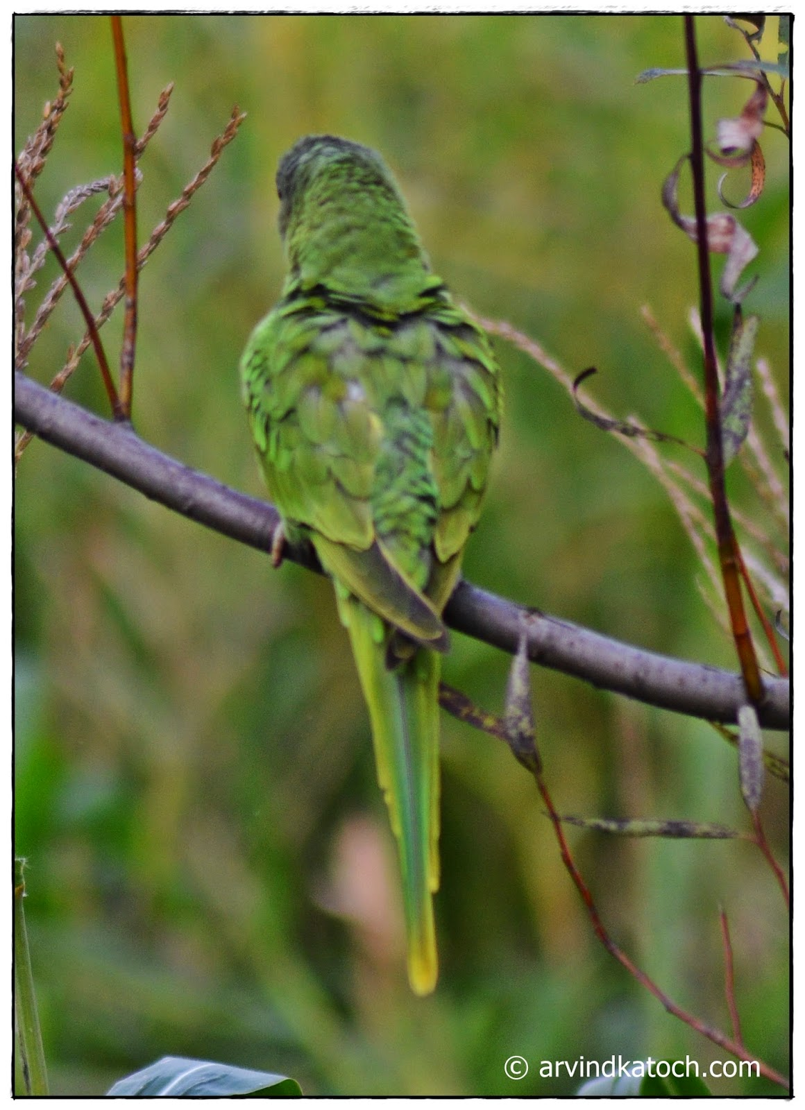 Backside, Slaty-headed parrot