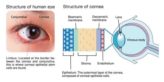 Scratched eye, Structure of Cornea
