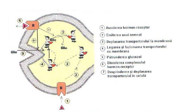 Hormonii sexuali masculini referat