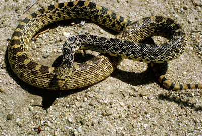 serpiente gopher Pituophis melanoleucus