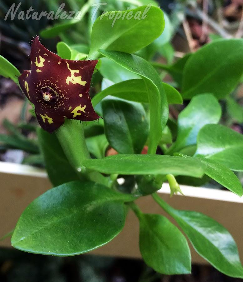 Vista de la flor y las hojas de la planta suculenta Frerea indica