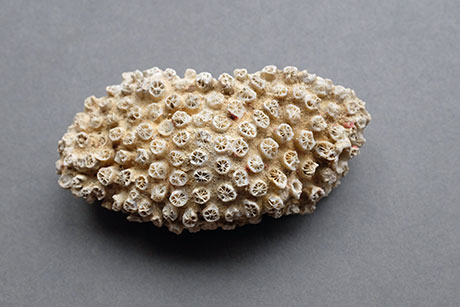 Coral © Graeme Walker / Pebble Museum 2019