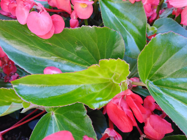 Foglie Begonia Wax