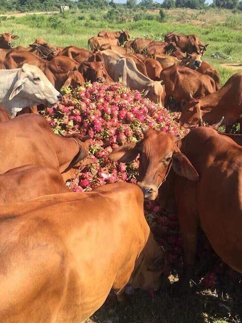Nhiều hộ không có bò phải thu gom hàng tấn thanh long bỏ ven suối để làm sạch vườn