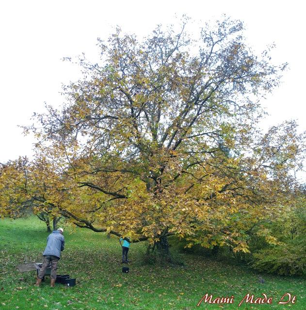 Walnussbaum - Walnut tree