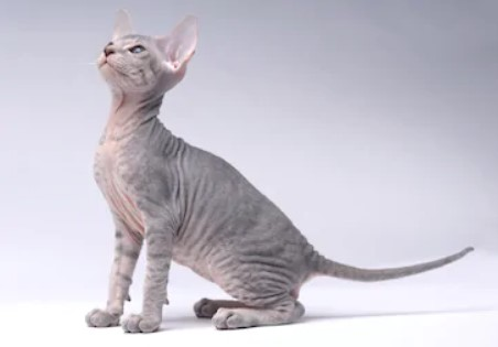 Peterbald cat - all you want to know about Peterbald cats