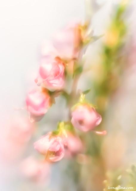 Kanerva kukkii