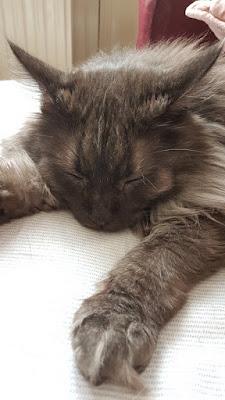 sleepy gray maine coon cat