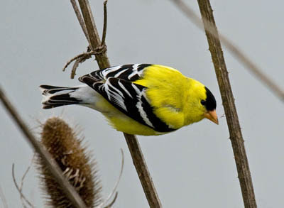 Photo of breeding plumage male American Goldfinch on teasel
