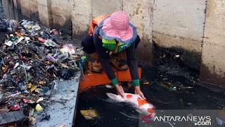 Rejeki Gak Kemana, Petugas DKI Menemukan Ikan Koi Import Saat Membersihkan Kali.