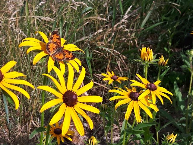 Northern Crescent and Black Eyed Susan
